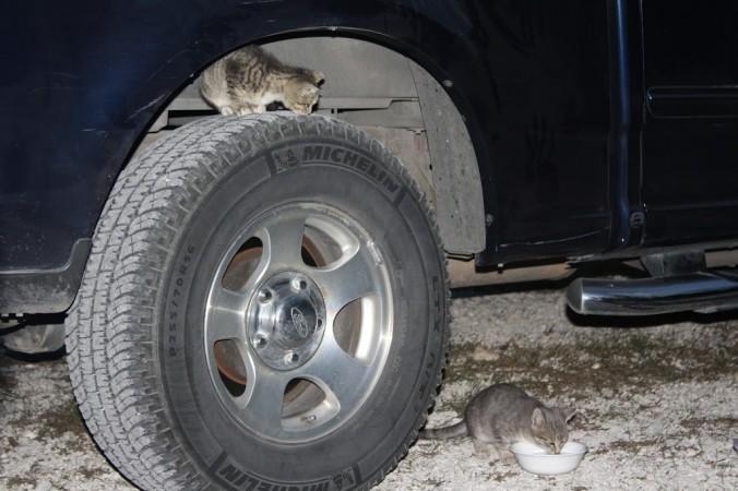 kittenscar