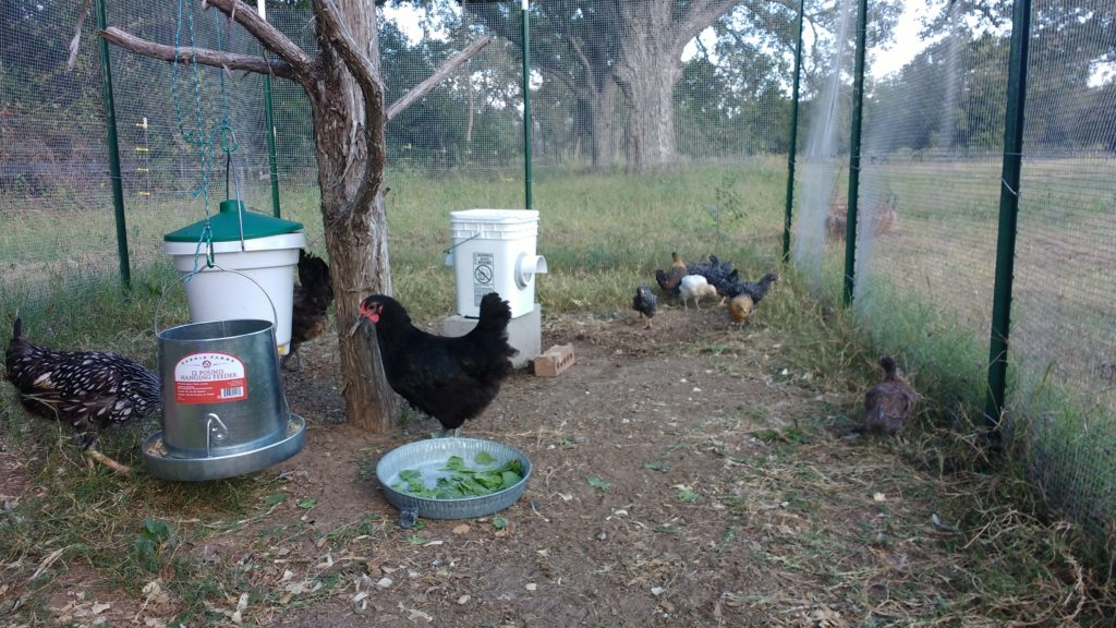 Australorp, Silver-laced Wyandotte, 5 Ameracaunas, and 6 Barred Rocks.