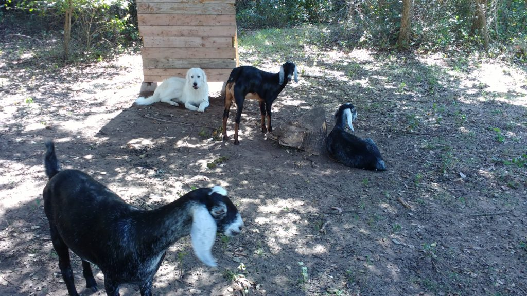 Livestock Guardian dog, Thor and his goats, Iona, Skye and Vaila.